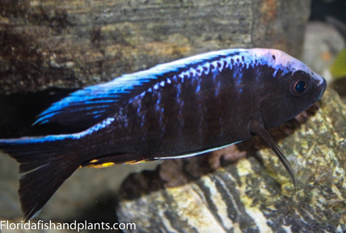 "Blue Orchid Peacock ""Kandeense"" Aulonocara  African Cichlid"