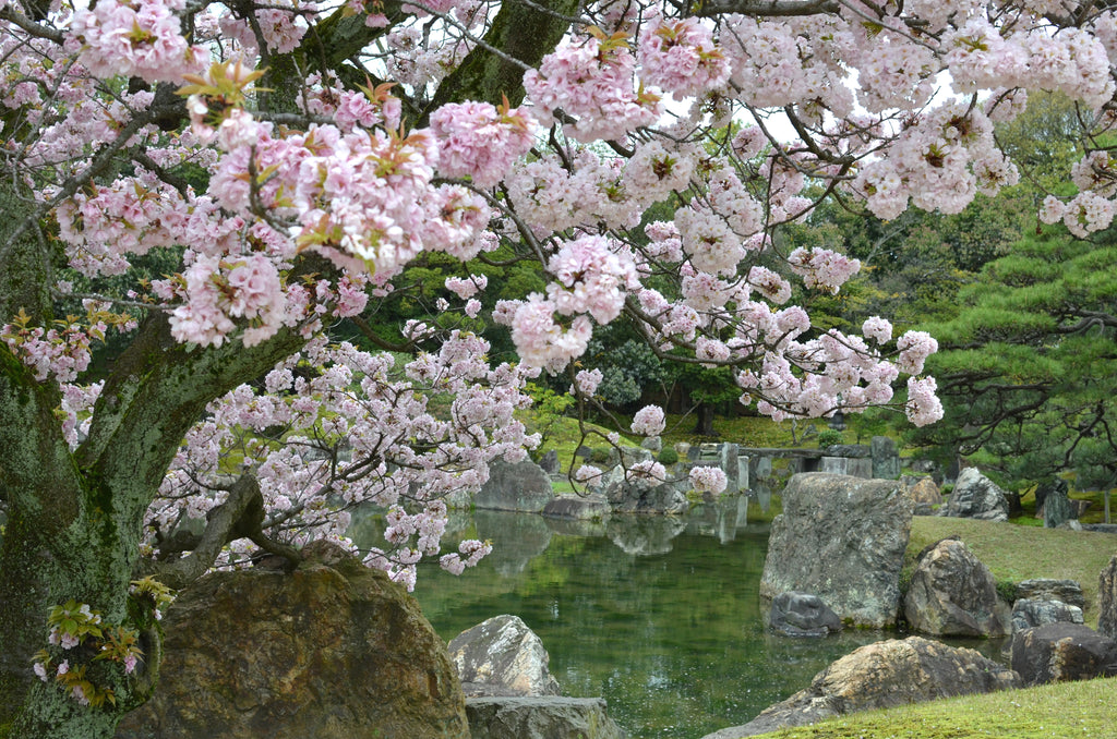 Cherry Blossom - Imperial Palace - Postcards Home