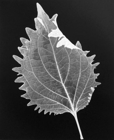 """Leaf 32, 2014"" Silver Gelatin by Amanda Means"
