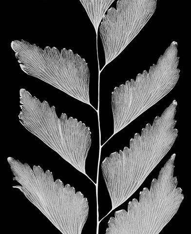 """Maidenhair Fern - 1990"" Silver Gelatin by Amanda Means"