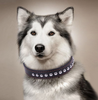 Image of Leather Tactical Dog Collar + Leash Strong Samoyed Long Leather