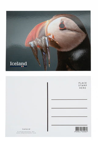 Icelandic sweaters and products - Postcard - Puffin (Fratercula arctica) Postcards - Shopicelandic.com