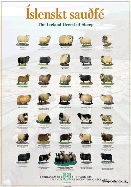 The Iceland Breed of Sheep - Poster (S) - Poster - Shop Icelandic Products