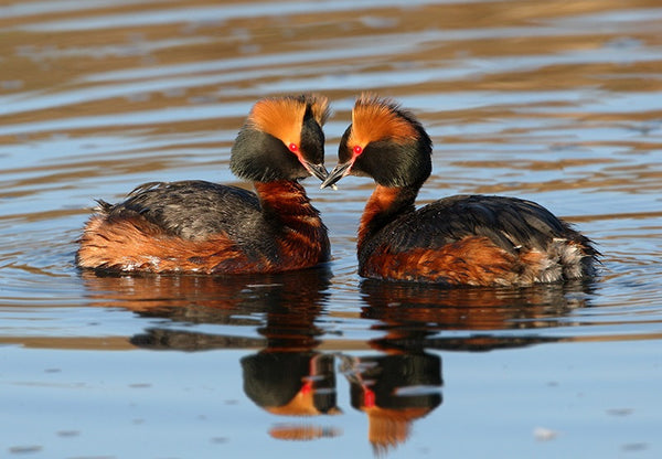 Horned Grebe - Jigsaw Puzzle (500pcs) - Puzzle - Shop Icelandic Products