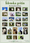Icelandic sweaters and products - The Iceland Breed of Goats - Poster (S) Poster - Shopicelandic.com