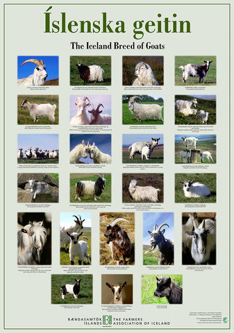 The Iceland Breed of Goats - Poster (S)