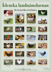 Icelandic sweaters and products - The Iceland Breed of Chicken - Poster (S) Poster - Shopicelandic.com