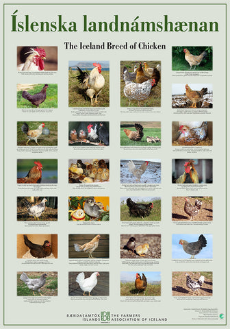 The Iceland Breed of Chicken - Poster (S)