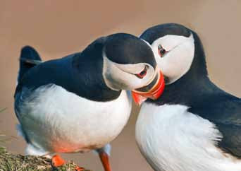 Puffin 2 - Poster - Poster - Shop Icelandic Products