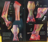 Tendons and Ligaments of the Equine