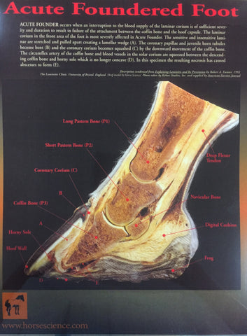 Acute Foundered Hoof Laminated Diagram. Fully labeled