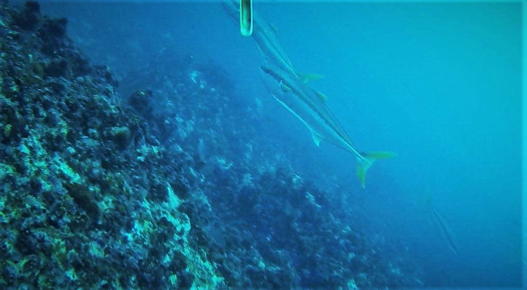 Spearfishing Yellowtail at the Alphard Banks