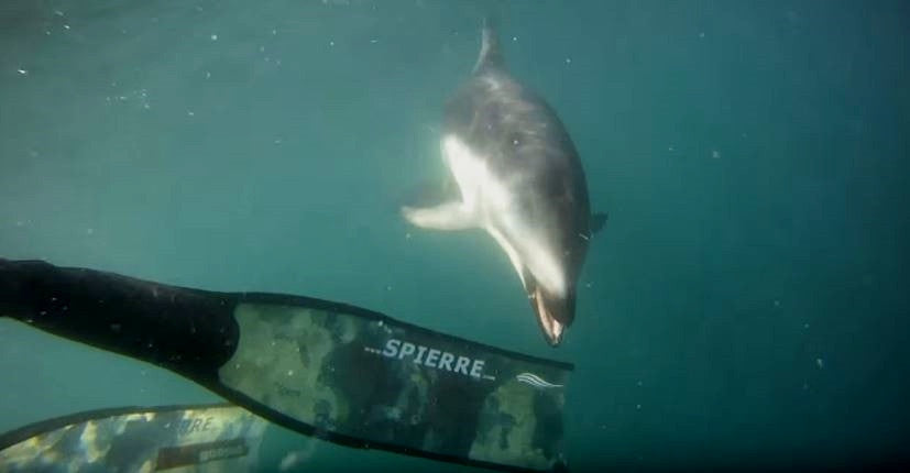 Dusky Dolphin Encounter with Spierre Fins!