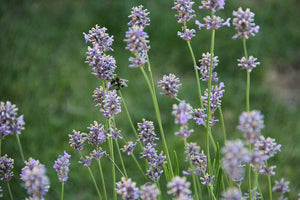 Let's talk Lavender