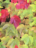 8002 Autumn Early Fall - Backdrop Outlet