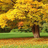 136 Golden Fall Tree Park Backdrop - Backdrop Outlet