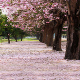 PRinted Blossom Trees Backdrop - 2180 - Backdrop Outlet