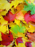 Colorful Leaves Backdrop - 7825 - Backdrop Outlet
