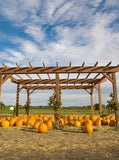 Pumpkin Patch Backdrop - 7937 - Backdrop Outlet