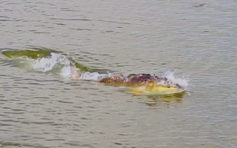 Topwater Tuesday: Fly Fishing for NOLA redfish