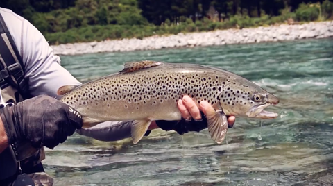 VIDEO: Fly fishing for big trout in New Zealand