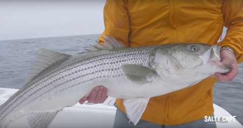 WATCH: Striped Bass Fishing On Cape Cod