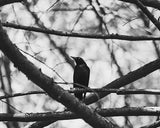 Blackbird / Photography Print