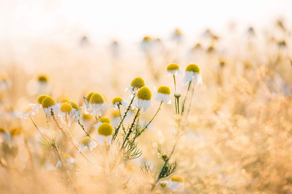 FIVE SURPRISING USES FOR CHAMOMILE TO IMPROVE YOUR HEALTH