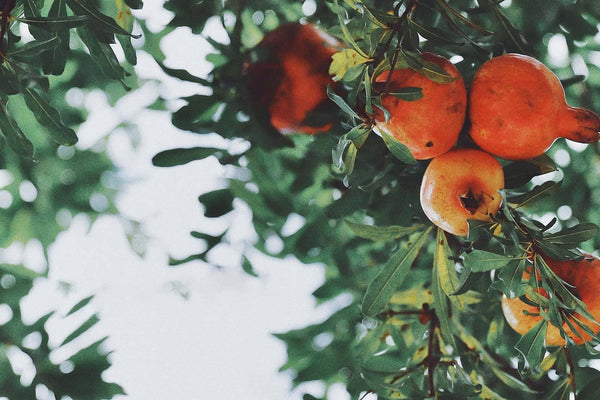 Ingredient Spotlight: Pomegranate Oil