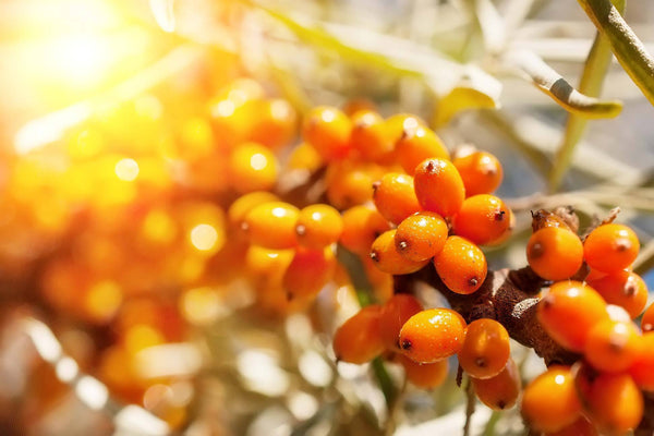 THE INCREDIBLE BENEFITS OF SEA BUCKTHORN FOR YOUR SKIN