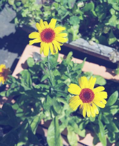 Grow Calendula for skincare