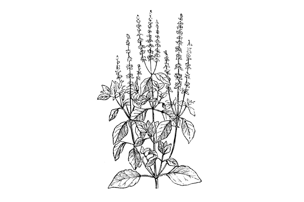 tulsi essential oil