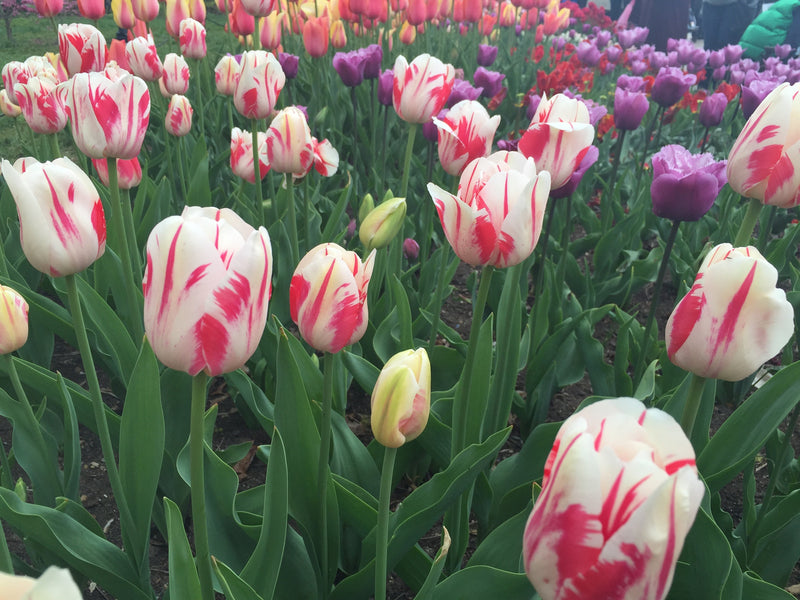 Stunning Tulips Of the Brooklyn Botanical Gardens!