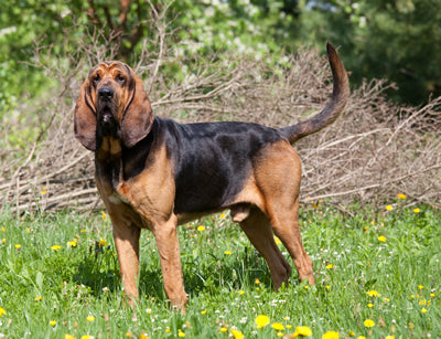 Saddlepeak Bloodhounds
