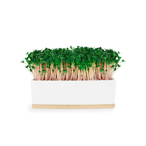 Mini Garden Sprout Kit - Pink Kale