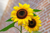 kids_garden_ideas_sunflower