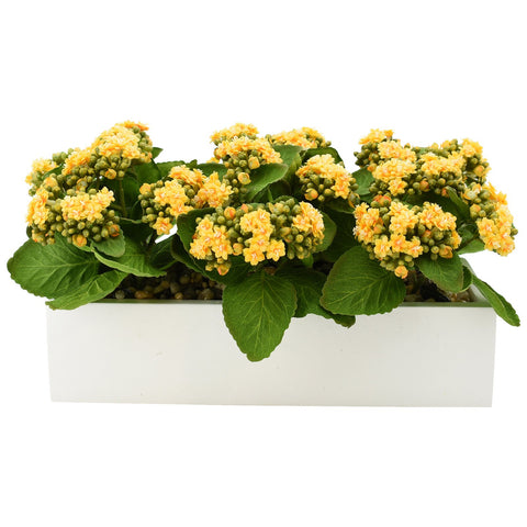 Kalanchoes over Rocks in Planter