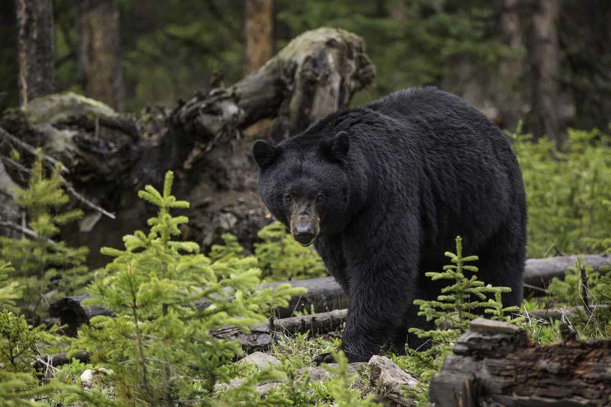 How to Stay Safe While Hiking in Bear Country | CloudLine Apparel