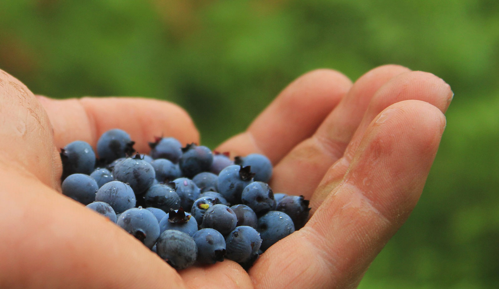 Use a hiking sock as a container to forage for berries