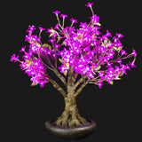 LINDEN - 2'4 Bonsai (Purple)