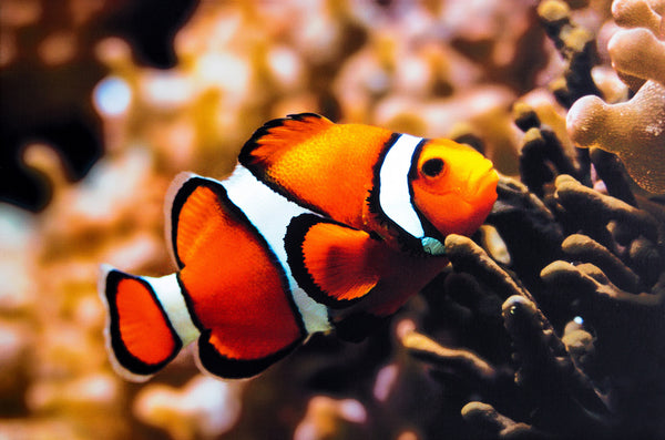 Pretty Valley Home - Clown Fish LED Painting