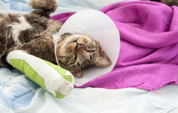 Common cat allergies - irritated skin