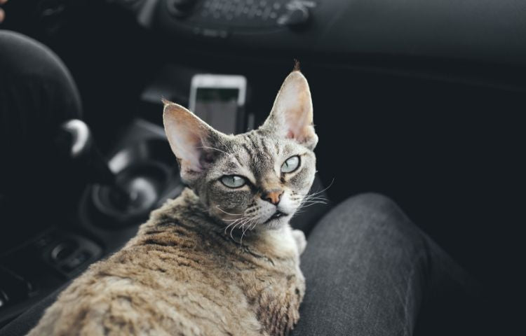 car travel with a cat
