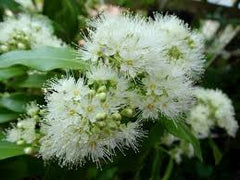 Lemon Myrtle (Backhousia Citriodora)