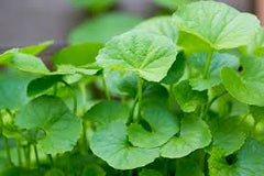 Centella Asiatica for natural skincare