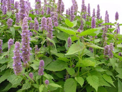 Patchouli essential oil for skin and health - the musky goodness