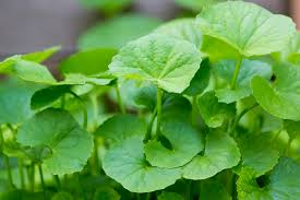 gotu kola (centella Asiatica) for skin collagen and scarring blog by orli natural and organic skincare and beauty