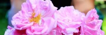 rose essential oil for well being orli