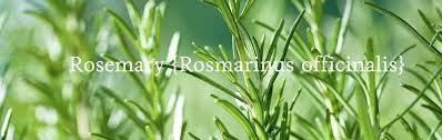rosemary essential oil orli natural and organic skincare and beauty australia