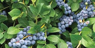 tannins in blueberries antioxidant orli natural and organic skincare and beauty australia